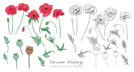 Opium poppy plant set. Colored and outline set stock vector illustration.