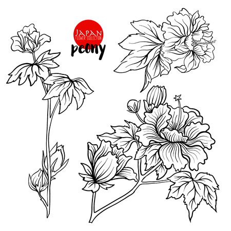 Peony flowers. Stock line vector illustration botanic flowers. Outline drawing.