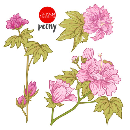 Peony flowers. Stock line vector illustration botanic flowers. Illusztráció