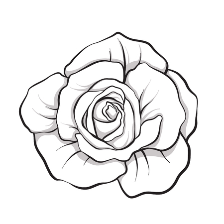 Rose flower isolated outline hand drawn. Stock line vector illustration. Çizim