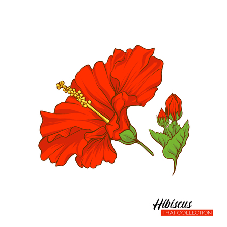 Red hibiscus flower. Botanical illustration style. Stock vector illustration. single image