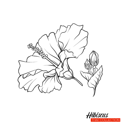 Hibiscus flower. Botanical illustration style. Stock vector outline illustration