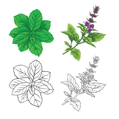 Conjunto de imágenes de color y contorno de una albahaca tailandesa y menta. Ilustración de vector colorido dibujado a mano sin transparentes y degradados.