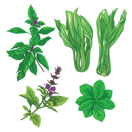 Set of color images of a thai basil, mint and cabbage pak choi. Hand drawn colorful vector illustration without transparent and gradients.