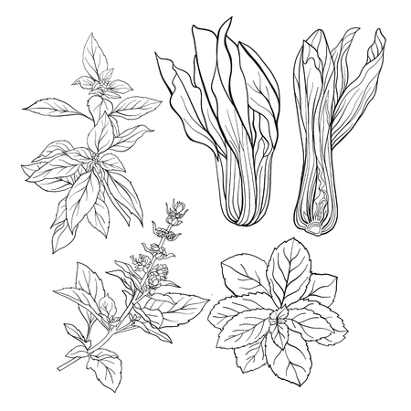 Set of outline images of a thai basil and mint.