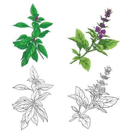 Conjunto de imágenes de color y contorno de una albahaca tailandesa. Ilustración de vector colorido dibujado a mano sin transparentes y degradados.