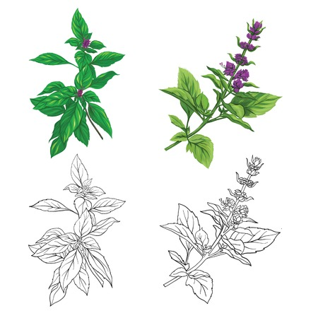 Ensemble d'images de couleur et de contour d'un basilic thaï. Illustration vectorielle colorée dessinée à la main sans transparent et dégradés.