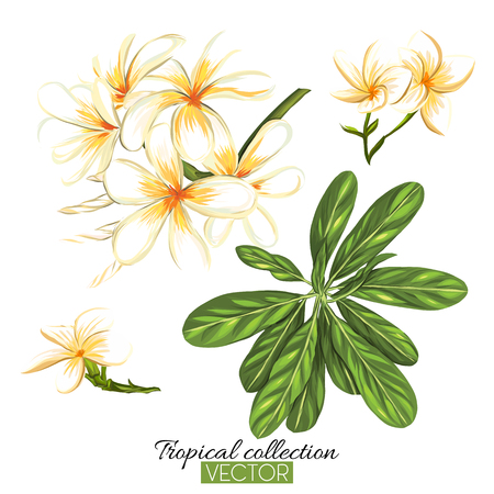 Beautiful hand drawn botanical vector illustration with tropical plumeria. Isolated on white background. Colorful vector illustration without transparent and gradients.