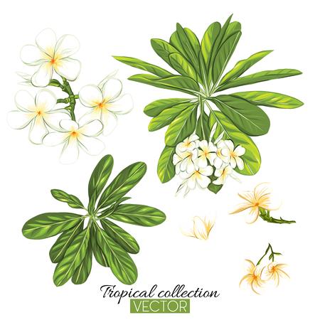 Belle illustration vectorielle botanique dessinée à la main avec plumeria tropicale. Isolé sur fond blanc. Illustration vectorielle colorée sans transparent et dégradés.