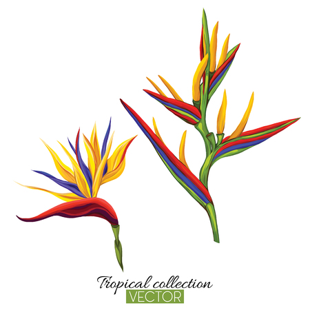 Beautiful hand drawn botanical vector illustration with strelitzia flower. Isolated on white background. Colorful vector illustration without transparent and gradients. Foto de archivo - 111754915