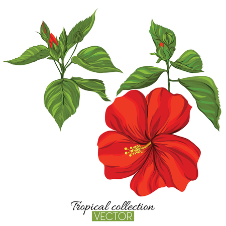 Beautiful hand drawn botanical vector illustration with hibiscus flower. Isolated on white background. Colorful vector illustration without transparent and gradients. Illustration