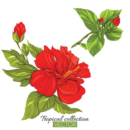 Beautiful hand drawn botanical vector illustration with hibiscus flower. Isolated on white background. Colorful vector illustration without transparent and gradients. Vettoriali
