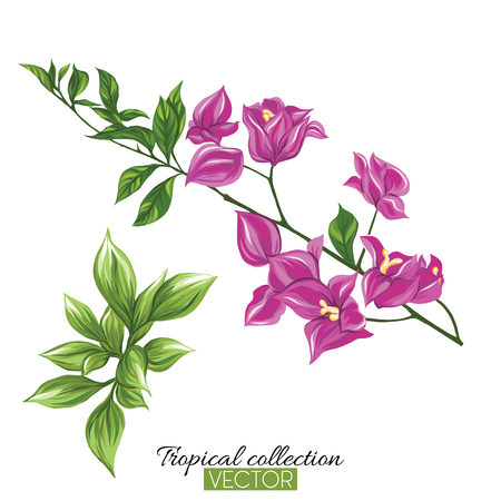 Beautiful hand drawn botanical vector illustration with bougainvillea. Isolated on white background. Colorful vector illustration without transparent and gradients.