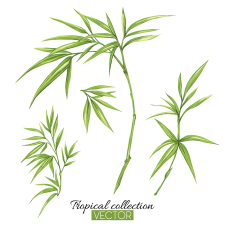 Beautiful hand drawn botanical vector illustration with bamboo. Isolated on white background. Colorful vector illustration without transparent and gradients. Ilustração