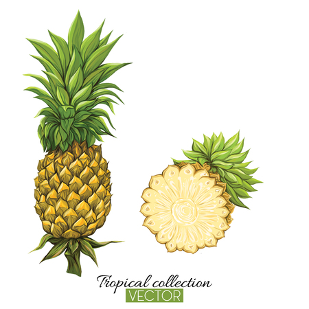 Beautiful hand drawn botanical vector illustration with pineapple. Isolated on white background. Colorful vector illustration without transparent and gradients. Illustration