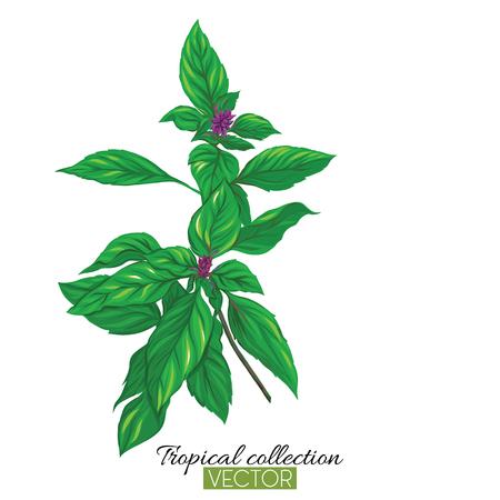 Schöne handgezeichnete botanische Vektorillustration mit thailändischem Basilikum. Isoliert auf weißem Hintergrund. Bunte Vektorillustration ohne Transparent und Steigungen.