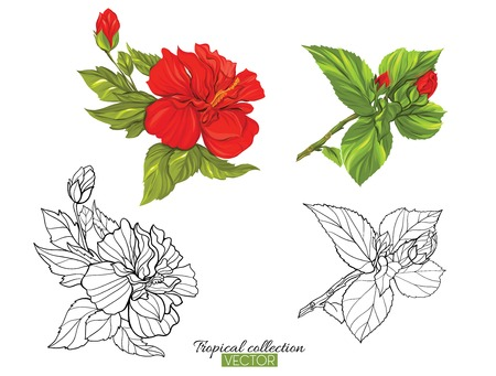 Beautiful hand drawn botanical vector illustration with hibiscus flower. Set of color and outline images. Isolated on white background. Colorful vector illustration without transparent and gradients.