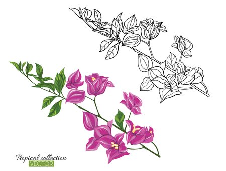 Beautiful hand drawn botanical vector illustration with bougainvillea. Set of color and outline images. Isolated on white background. Colorful vector illustration without transparent and gradients.