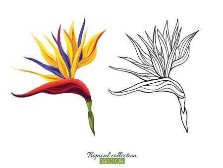 Ilustración de vector botánico dibujado a mano hermosa con flor de strelitzia. Conjunto de imágenes en color y contorno. Aislado sobre fondo blanco. Ilustración de vector colorido sin degradados.