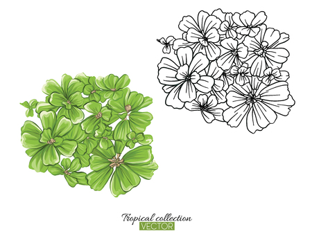 Beautiful hand drawn botanical vector illustration with pistia. Set of color and outline images. Isolated on white background. Colorful vector illustration without transparent and gradients.