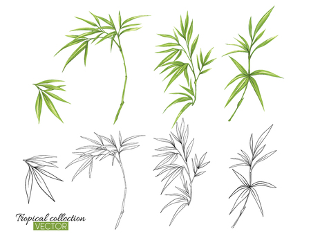 Beautiful hand drawn botanical vector illustration with bamboo. Set of color and outline images. Isolated on white background. Colorful vector illustration without transparent and gradients.