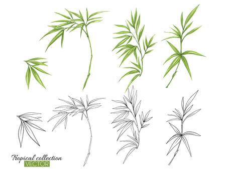 Ilustración de vector botánico dibujado a mano hermosa con bambú. Conjunto de imágenes en color y contorno. Aislado sobre fondo blanco. Ilustración de vector colorido sin transparentes y degradados.