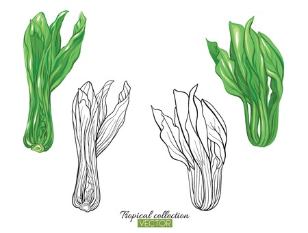 Beautiful hand drawn botanical vector illustration with cabbage pak choi. Set of color and outline images. Isolated on white background. Colorful vector illustration without and gradients.