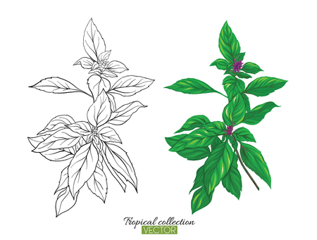 Beautiful hand drawn botanical vector illustration with thai basil. Set of color and outline images. Isolated on white background. Colorful vector illustration without transparent and gradients.