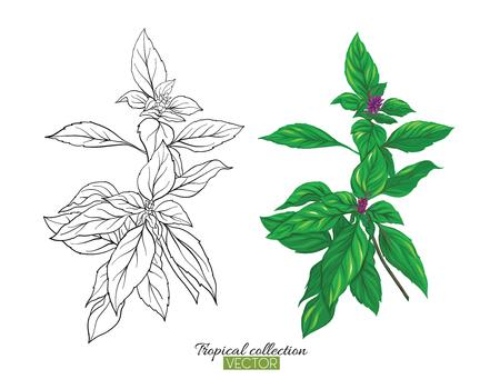 Bella illustrazione botanica vettoriale disegnata a mano con basilico tailandese. Set di immagini a colori e di contorno. Isolato su sfondo bianco. Illustrazione vettoriale colorato senza trasparente e sfumature.