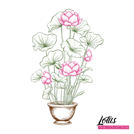 Lotus Flower in pot. Botanical illustration style. Stock vector illustration.