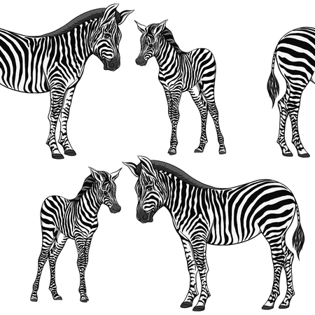Seamless pattern, background  with adult zebra  and zebra cub. Vector illustration. 向量圖像
