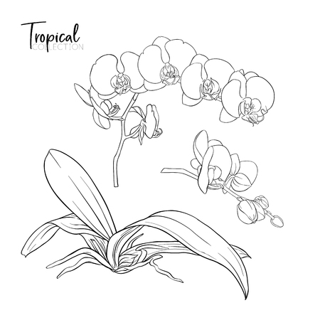 Tropische Pflanze. Vektorillustration im botanischen Stil. Vektorgrafik
