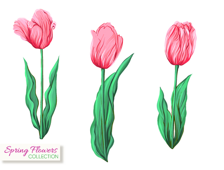 Pink tulips. Colorful realistic vector illustration. Isolated on white background.