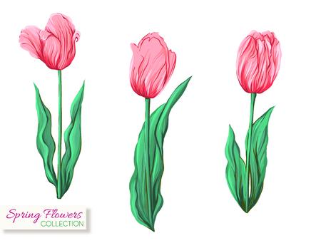 Tulipani rosa. Illustrazione vettoriale realistico colorato. Isolato su sfondo bianco. Vettoriali