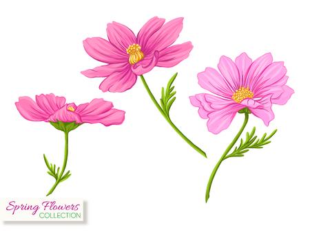 Kosmos Blumen. Bunte realistische Vektorillustration. Isoliert auf weißem Hintergrund.