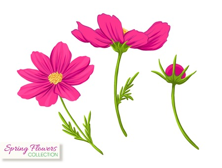 Cosmos flowers. Colorful realistic vector illustration. Isolated on white background. Vektorové ilustrace