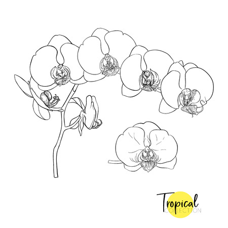 White orchid flower. Tropical plant. Graphic drawing, engraving style. vector illustration
