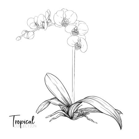 Weiße Orchideenblüte. Tropische Pflanze. Grafische Zeichnung, Gravurstil. Vektor-Illustration