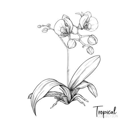 Fiore di orchidea bianca. Pianta tropicale. Disegno grafico, stile di incisione. illustrazione vettoriale