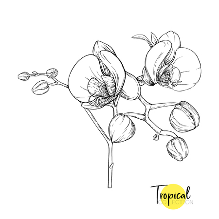White orchid flower. Tropical plant. Graphic drawing, engraving style. vector illustration.