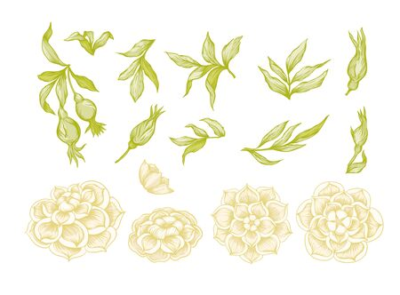 Roses Element for design. Graphic drawing, engraving style. In art nouveau style, vintage, old, retro style.