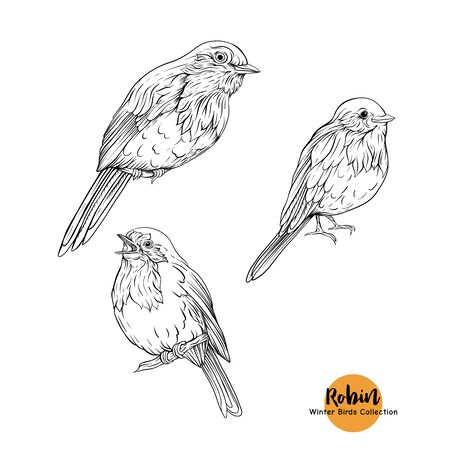 Robin bird - a symbol of Christmas. Set of elements for design Isolated on white background. Realistic sketch drawing. Graphic drawing, engraving style. Vector illustration..