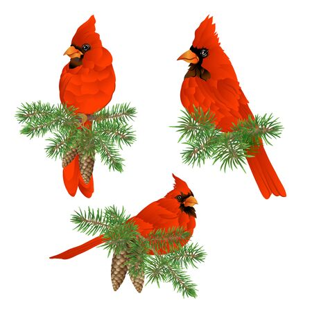 Cardinal bird - the symbol of Christmas. Christmas wreath of winter plants. Element for design. Colored vector illustration. Isolated on white background.. Иллюстрация