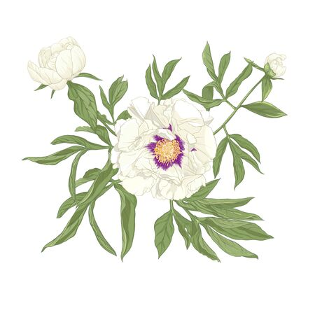 Peony flower. Element for design. Colored vector illustration. In botanical style Isolated on white background..