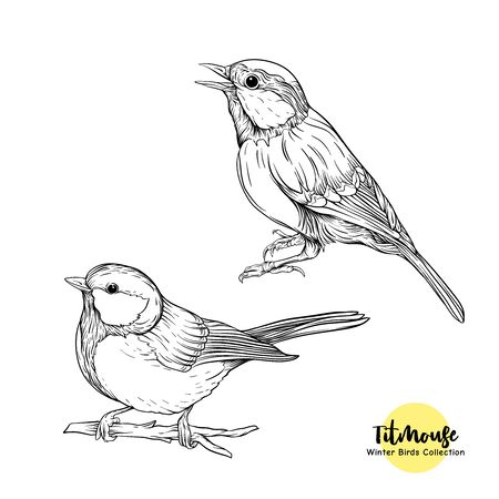 Tit birds - a symbol of winter. Set of elements for design Isolated on white background..Realistic sketch drawing. Graphic drawing, engraving style. Vector illustration..