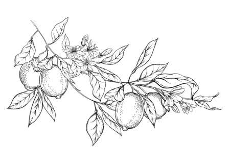 Gałąź drzewa cytrynowego z cytrynami, kwiatami i liśćmi. Element projektu. Zarys rysunek wektor ilustracja. Na białym tle... Ilustracje wektorowe