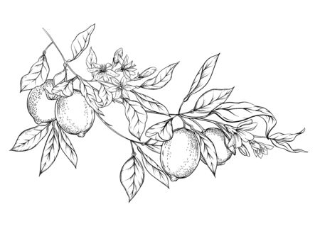 Lemon tree branch with lemons, flowers and leaves. Element for design. Outline hand drawing vector illustration. Isolated on white background..