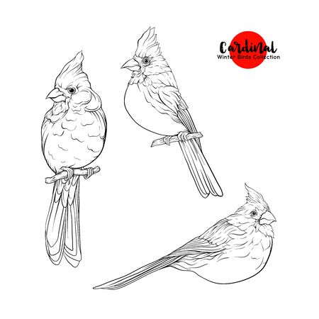 Cardinal birds - a symbol of Christmas. Set of elements for design Isolated on white background..Realistic sketch drawing. Outline hand drawing vector illustration.. Banco de Imagens - 133102455