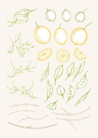 Lemon tree branch with lemons, flowers and leaves. Element for design. Colored outline hand drawing vector illustration.