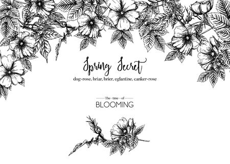Dog-rose, briar, brier, eglantine, canker-rose. Template for wedding invitation, greeting card, banner, gift voucher. Graphic drawing, engraving style. Vector illustration in black and white. Standard-Bild - 133466809